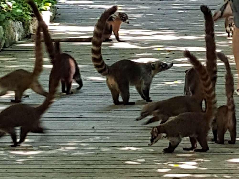 Mexican Coati