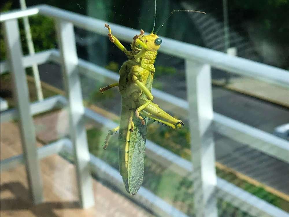 Mexican Grasshopper