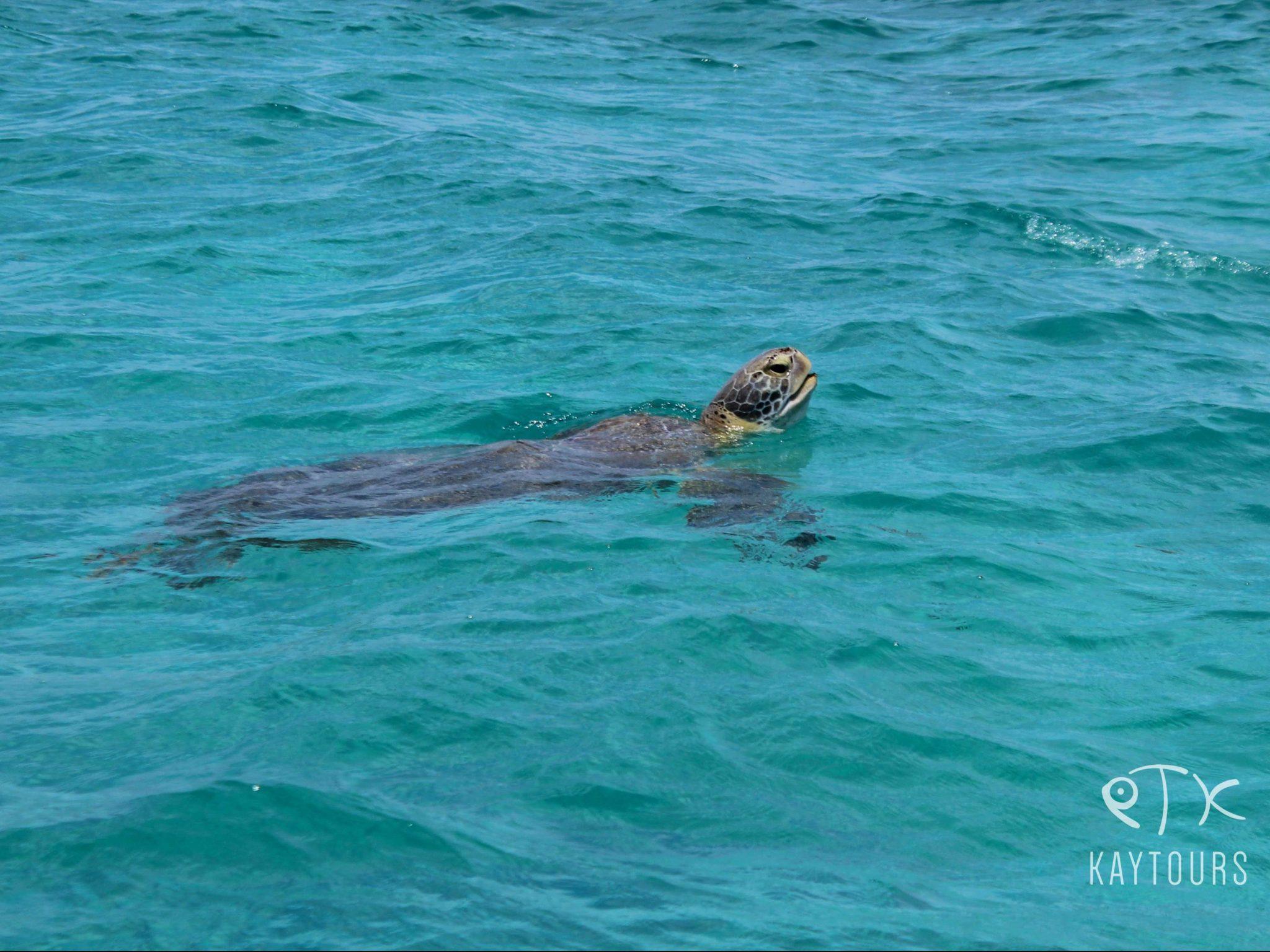 Sian Ka'an sea turtle