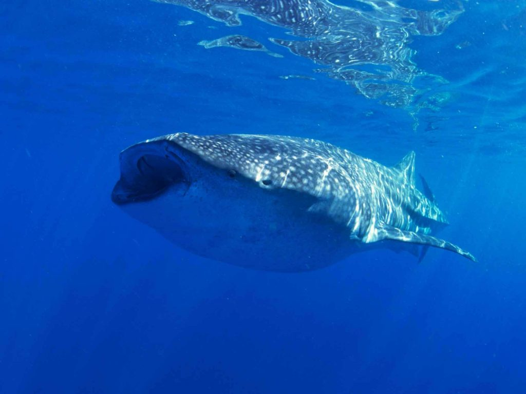 Whale Sharks Playa del Carmen