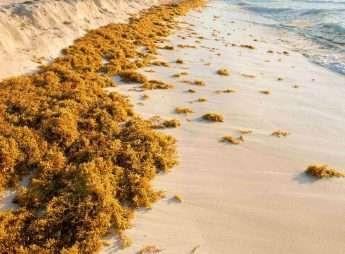 Playa del Carmen Seaweed